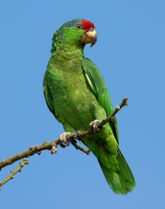 amazon red crowned parrot